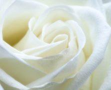 Signification rose blanche : Elle n'aura plus de secret pour vous